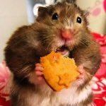 Удивленный хомячок с печенькой
